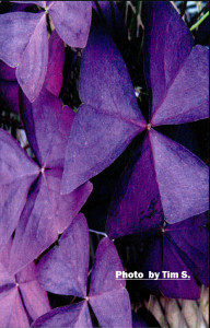 card_TS_purple